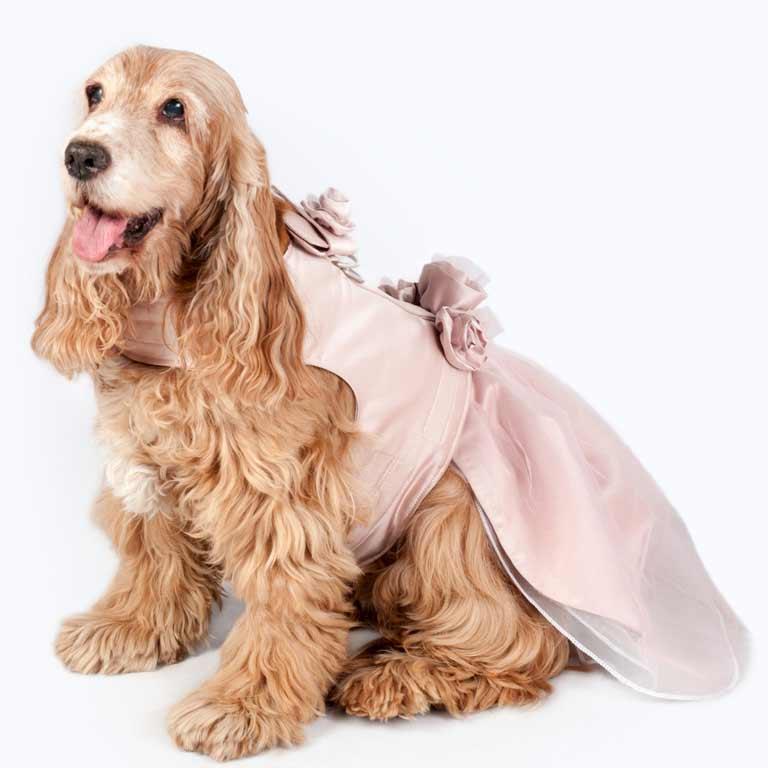 Sheera, una cocker spanniel preparada para la boda de sus humanos