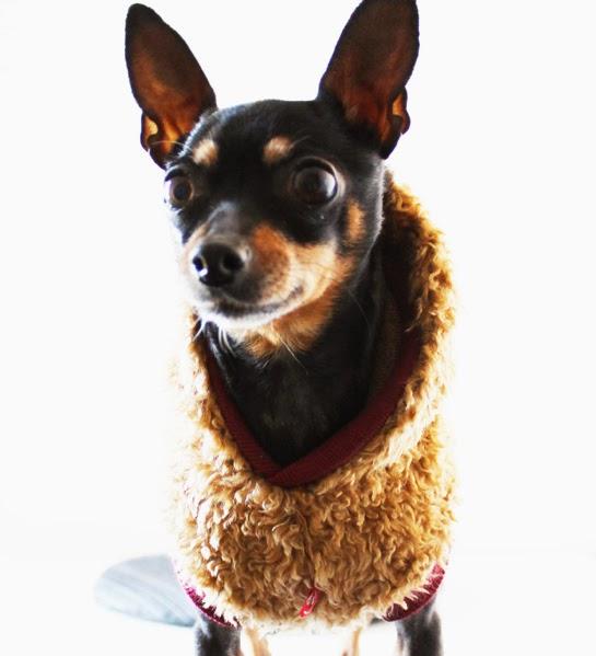 Lulu con una calentita sudadera para perros